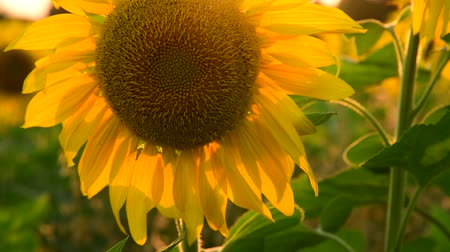economia rural : large sunflower flower at sunset