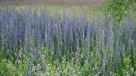 salie : Salvia Superba in summer on meadow