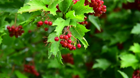 truss : Red viburnum with berries is wet from the rain