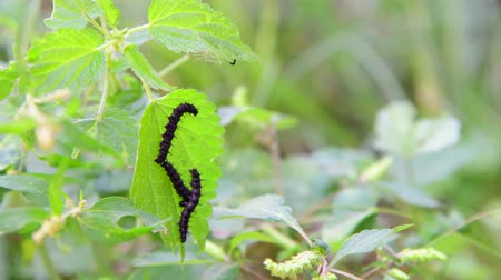 housenka : Three black caterpillars on nettle leaf Dostupné videozáznamy