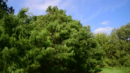 akacja : Acacia sways in strong wind in summer