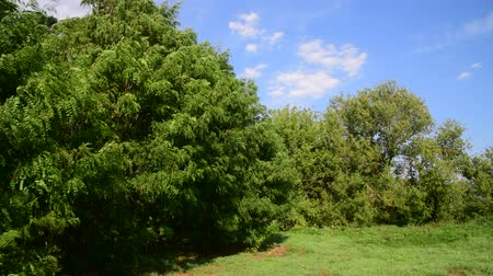 locust : Acacia sways in strong wind in summer