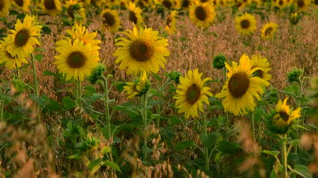 economia rural : flowering sunflowers in a field in rays of setting sun
