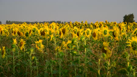 flowers oil : fragment of blooming sunflowers at sunset in field