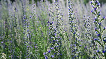 salvia : lot of beautiful Salvia Superba in summer on meadow