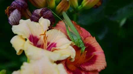 grasshopper : green grasshopper eats pollen on flowers of daylily