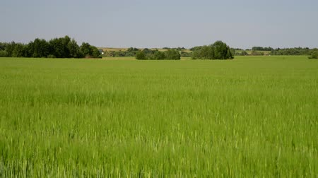 éretlen : green wheat field in June and village houses in Russia