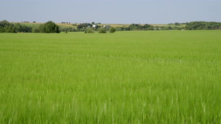 nezralý : green wheat field in June and village houses in Russia