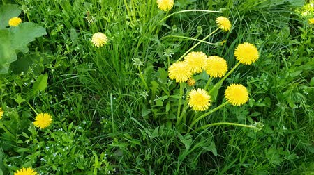 gale : Yellow dandelions in spring on glade Stock Footage