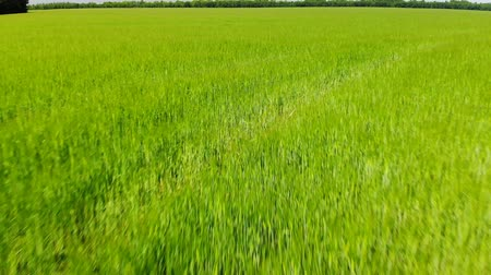 economia rural : movement along a green wheat field on sunny day