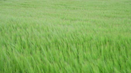 gust of wind : Rye on field bends under a strong wind Stock Footage