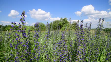 külvárosok : Blooming Salvia Superba on outskirts of the village