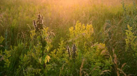 hanyatlás : Motherwort among wild grass in the meadow Stock mozgókép