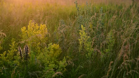 снижение : Motherwort among wild grass in the meadow Стоковые видеозаписи