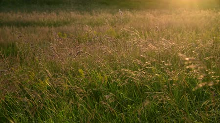 снижение : Wild oats in wind at sunset light