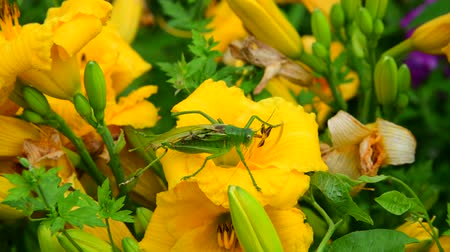 estames : Injured grasshopper with one wing on flower