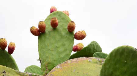 anlamlı : Beautiful prickly pear cactus on sky background