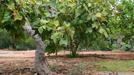 aliment : Fig tree with unripe fruits in nature Stock Footage