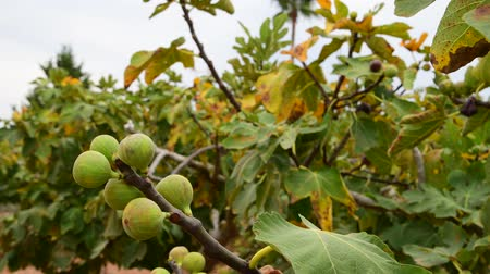 tápanyagok : Fig tree with unripe fruits in the garden