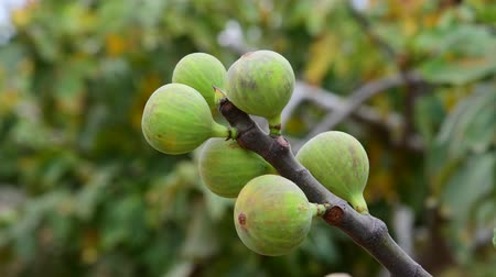 aliment : Fig tree with unripe fruits in the garden