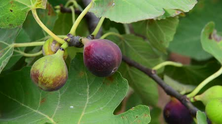 aliment : fruits of fig tree on branch