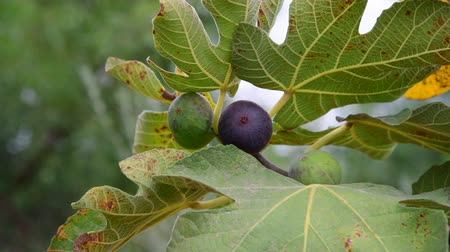 кампания : fruits of fig tree on branch