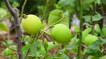 limones : The Unripe green lemons on a branch