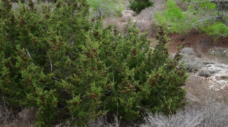 kıbrıs : cones on branches of cypress on the island of Cyprus Stok Video