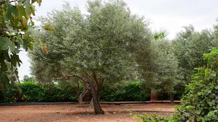 kıbrıs : Fragment of garden with olive trees in November in Cyprus Stok Video