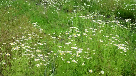 camomila : Many field daisies in the meadow in summer Vídeos