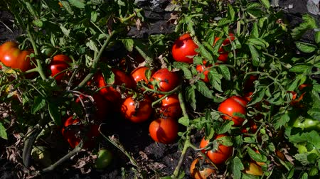horticulture : Ripe red tomatoes are grown in the ground