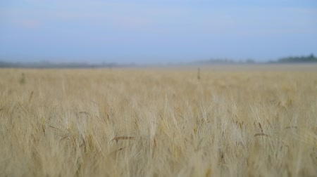 dry stalks : field with beautiful ripe rye in Russia Stock Footage