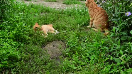 reddish : Red cat and kitten playing in nature in summer