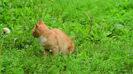 reddish : Lost homeless kitten meows in a nature Stock Footage