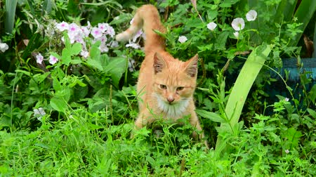 vöröses : Homeless red kitten standing in grass in summer Stock mozgókép