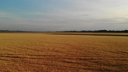 kayran : Beautiful field with ripe rye in Russia, forward movement