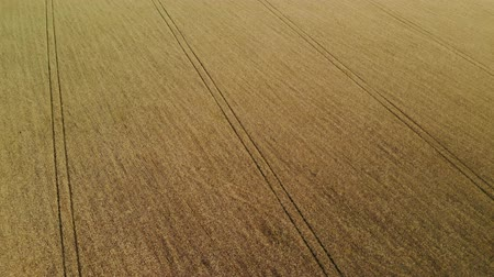 oldalt : Beautiful field with ripe rye in Russia, sideways movement