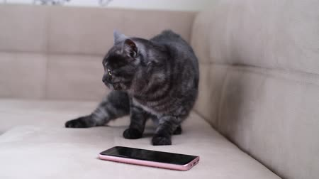 beside : The cat behaves restlessly next to smartphone