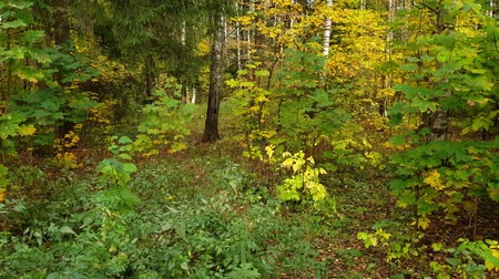 fallen leaves : Mixed deciduous and spruce forest in autumn