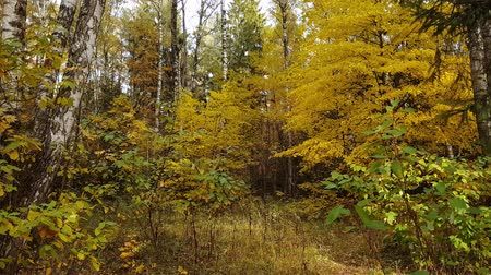 экологически : Mixed deciduous and spruce forest in autumn