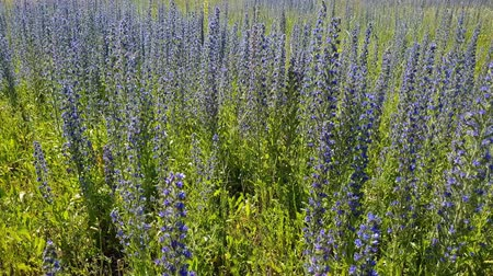 salie : beautiful meadow with blooming Salvia Superba in Russia