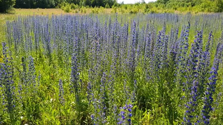 salvia : beautiful meadow with blooming Salvia Superba in Russia