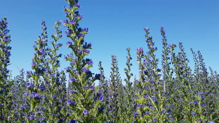 salvia : meadow with blooming Salvia Superba in Russia