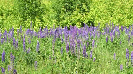 小花 : Beautiful glade with blooming lupins