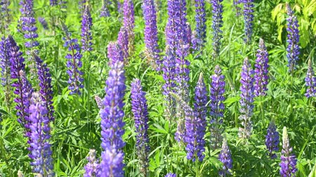 csöves virág : Many beautiful glade with blooming lupins