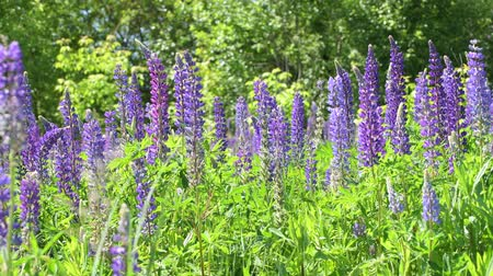 csöves virág : Beautiful glade with blooming lupins