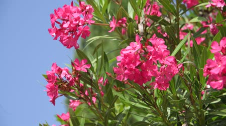 sways : Beautiful pink blooming oleander on a sunny day