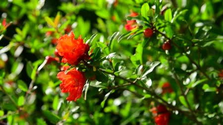 escarlate : Flowering pomegranate bush with a red flowers