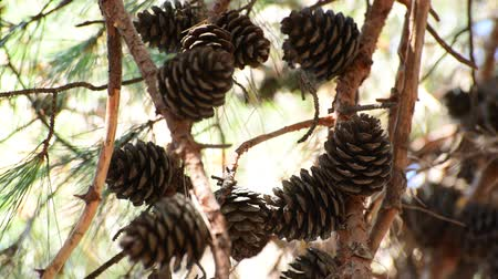pignons de pin : The Large fir cones on a branch Vidéos Libres De Droits