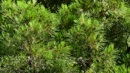 скотч : The Beautiful branches of Mediterranean pine Стоковые видеозаписи